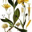 Arnica_montana_benchmark_natural_homeopathic-110x110
