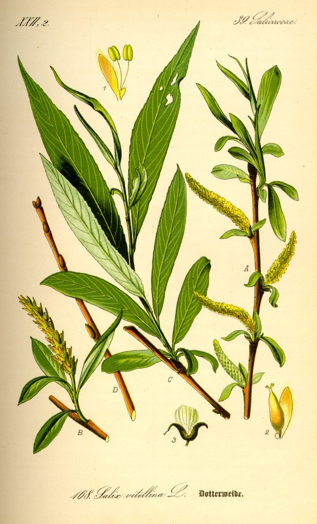 illustration_salix_alba_natural_medicine_benchmark