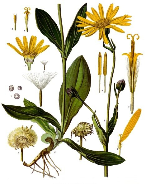 arnica_montana_benchmark_natural_homeopathic